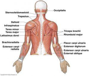 Musculature_Superficial_Upper_Back